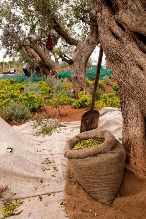 Olive harvesting 2