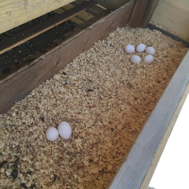 Βιολογικά αυγά, στο κτήμα, στο βουνό των Σπετσών...